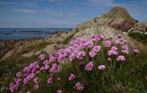 3 Sea pinks in Spring